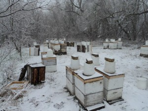 Hives overwintering outside in an apiary