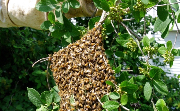 Swarm hanging from branch a member cut from a tree