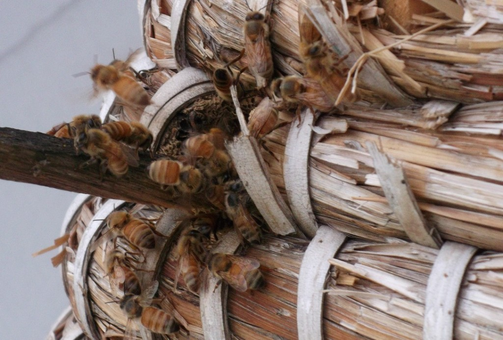 Bees entering and leaving a skep.